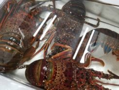 活きの伊勢海老 | 徳島で日本料理なら笹乃庄